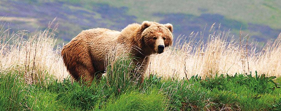 Alaska_orso_bear